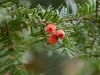 Picture of red Yew tree berry in autumn
