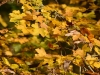Picture of yellow leaves on bush in autumn