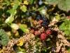 Picture of blackberries