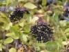 Picture of elder berries in autumn