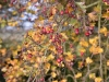 Picture of hawthorn berries in autumn