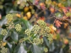 Picture of ivy berries in autumn