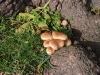 Picture of Parasol mushroom (Lepiota procera)