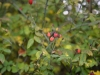 Picture of red rosehip berries in autumn