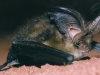 Grey long eared bat 3