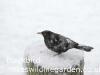 Male Blackbird in the snow