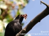 Male Blackbird with worms
