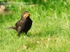 Male Blackbird with mealworms