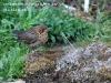 Young Blackbird chick