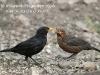 Male Blackbird feeding chick