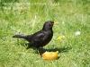 Male Blackbird feeding on apple