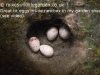 Birds Grest tit eggs