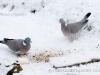wood-pigeons