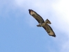 Picture of Buzzard