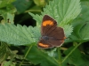 Brown hairstreak  butterfly female