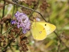 Clouded yellow 900x600