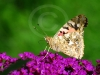 painted-lady-1