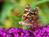 painted-lady-2