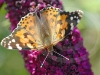 painted-lady-4