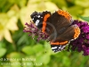 red-admiral-3