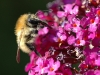 carder-bee-on-buddliea-1-web3