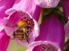 carder-bee-on-foxglove-web1