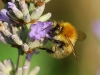 carder-bee-on-lavender-web