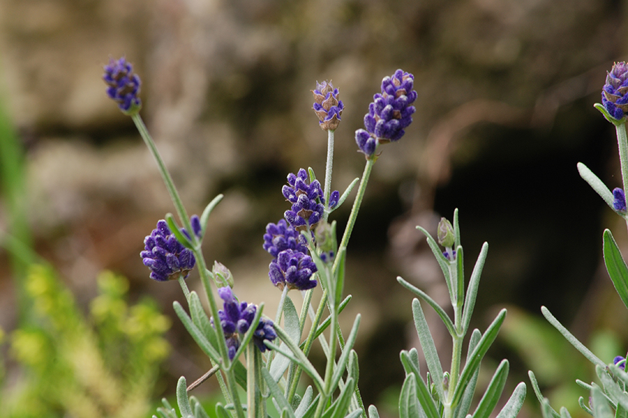 Lavender 1 900x600