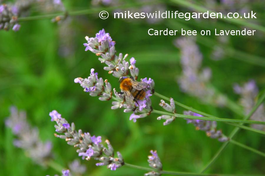 flower-lavender