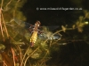 Broad bodied Libellula female