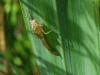 Dragonfly instar