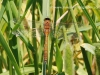 Brown dragonfly, possibly a 'brown hawker'