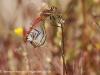 Common darter dragonflies mating