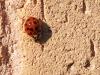 18 spot Ladybird 12x8 b