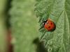 7 spot ladybird 12x8 30dpi