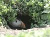 Puffin in burrow