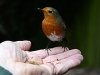 Robin in hand thumb