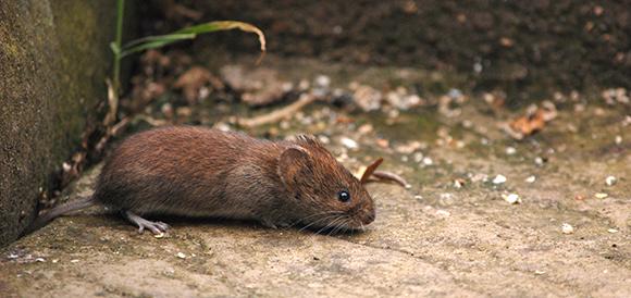 Common garden vole