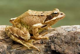 Picture of common frog
