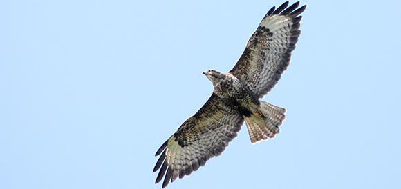 Buzzard a bird of prey and raptor