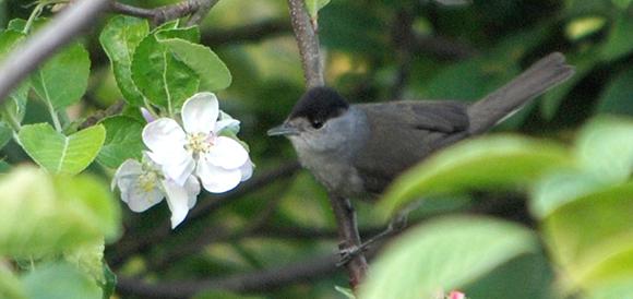 Blackcap a woodland bird