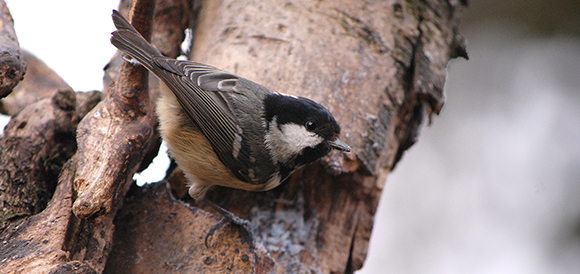 Coal tit in wildlife garden