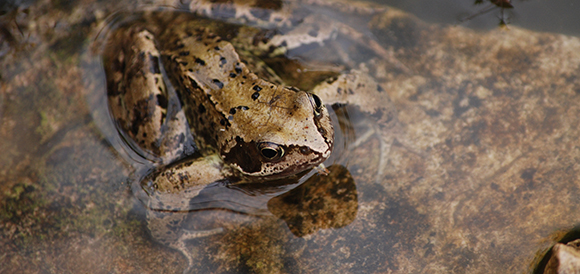 Common frog in wildlife pond