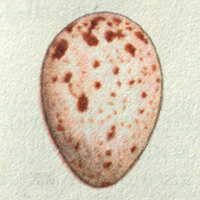 Nuthatch egg