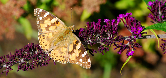 Painted lady on buddleia