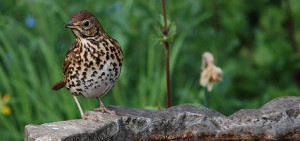 picture of song thrush