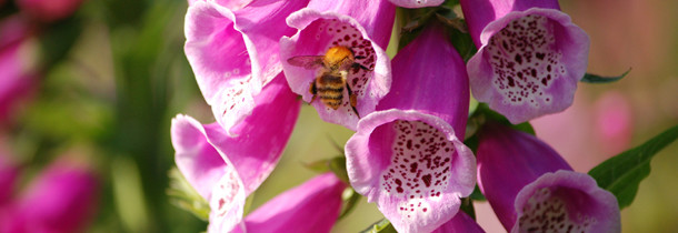 A picture of a bee getting nectar from a Foxglove