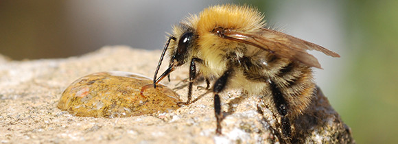 Carder bee sipping honey