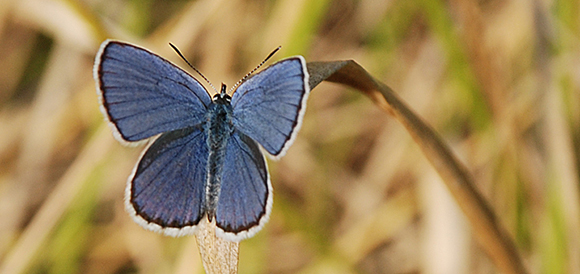Picturs of blue butterfly