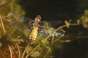 Broad bodied Libellula Female